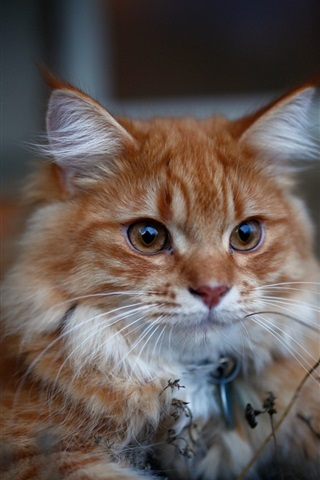 iPhone Wallpaper Cat look, furry