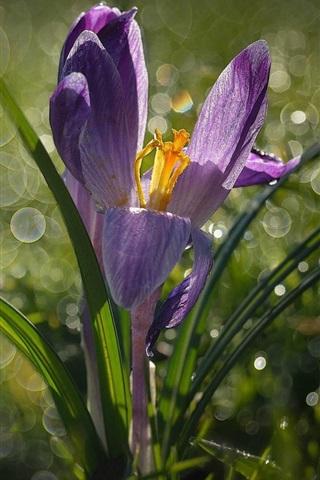 iPhone Wallpaper Crocus, grass, spring