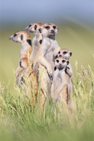 iPhone Wallpaper Cute meerkats stand in grass, family