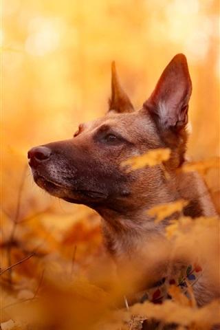 iPhone Papéis de Parede Cão, rosto, outono, folhas vermelhas