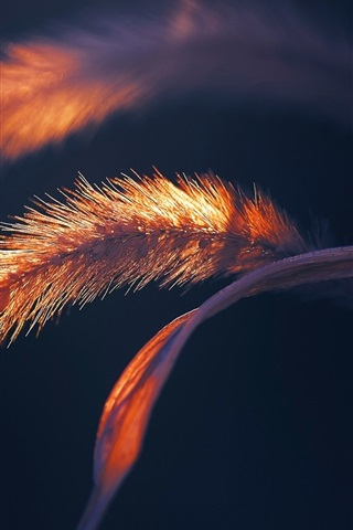 iPhone Wallpaper Grass macro photography, spike, black background
