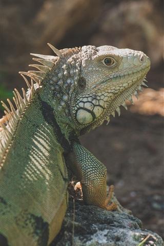 iPhone Wallpaper Iguana rear view, reptile