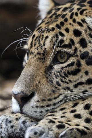 iPhone Wallpaper Jaguar, rest, predator, head