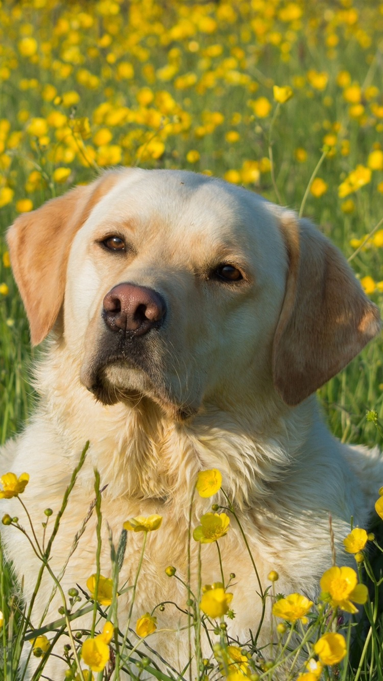Labrador Retriever, cão, flores amarelas 750x1334 iPhone 8 7 6 6S ... 524a0613ab
