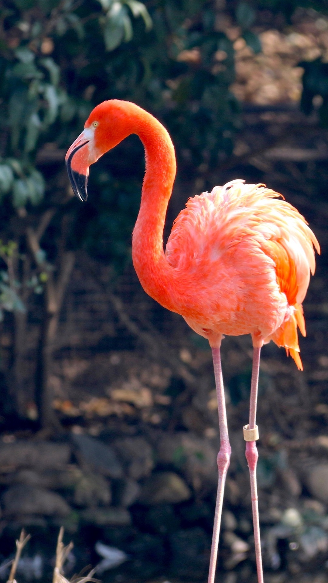 One Flamingo Red Feathers 1080x1920 Iphone 8 7 6 6s Plus