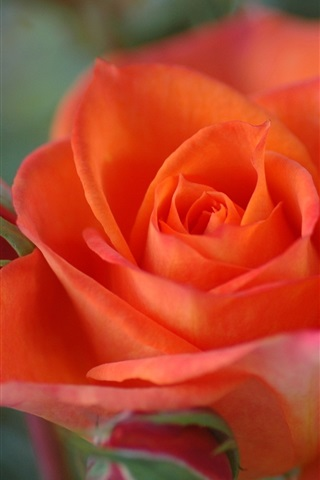 Orange colour rose close