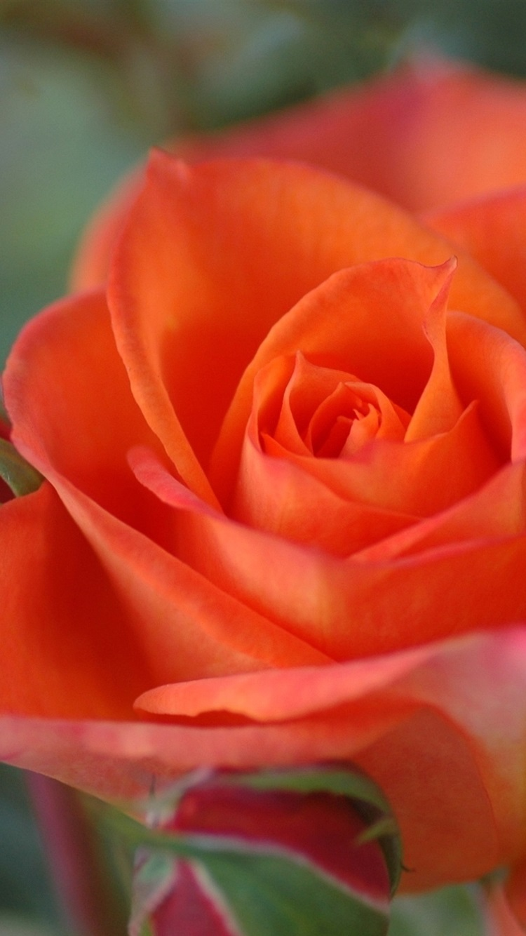 Orange Colour Rose Close Up 750x1334 Iphone 8 7 6 6s Wallpaper Background Picture Image