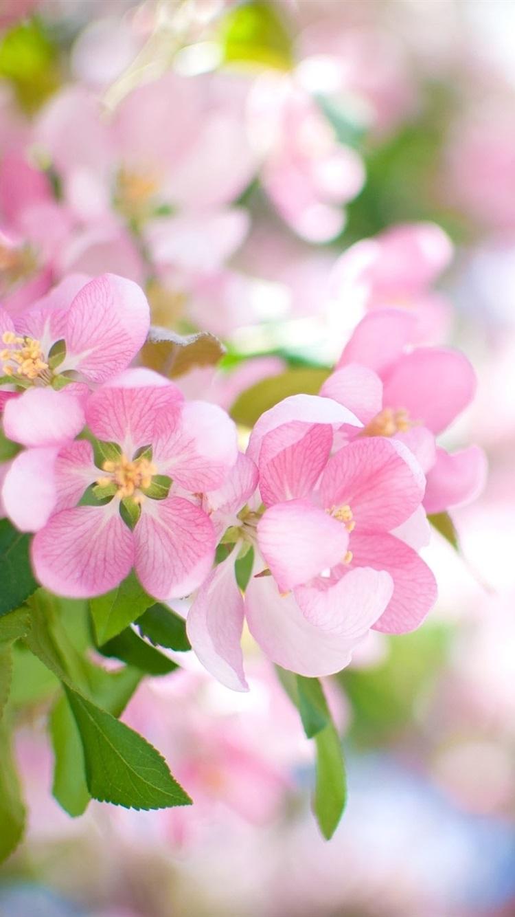 Pink Apple Flowers Bloom Spring 750x1334 Iphone 8 7 6 6s Wallpaper
