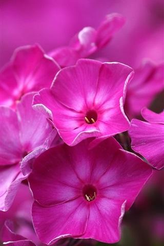 iPhone Wallpaper Pink phlox flowers, macro photography