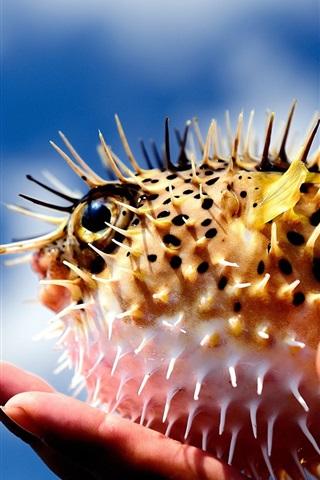 iPhone Papéis de Parede Puffer peixe, bola, espinhos, mão