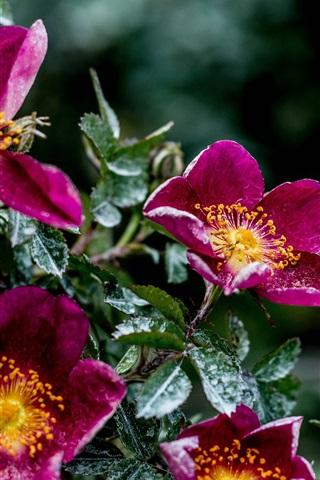iPhone Wallpaper Purple flowers, moisture, leaves
