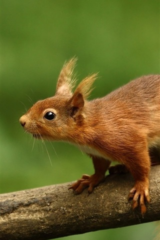 iPhone Wallpaper Squirrel, branch, green background
