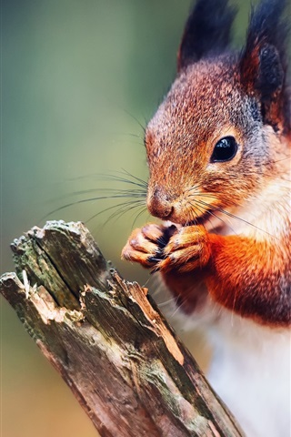 iPhone Wallpaper Squirrel close-up, bokeh