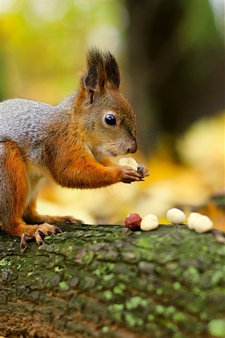 iPhone Wallpaper Squirrel eat nuts