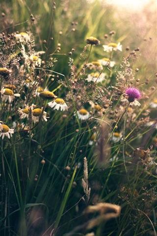 iPhone Wallpaper Summer, wildflowers, grass, sunshine