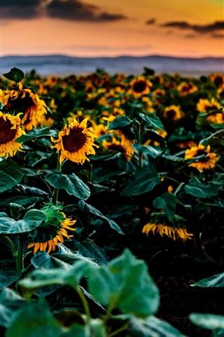Sunflowers Fields Sunset 750x1334 Iphone 8 7 6 6s Wallpaper
