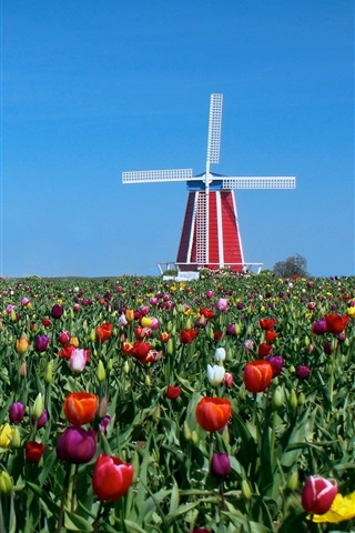iPhone Wallpaper Tulips, windmill, blue sky