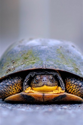 iPhone Wallpaper Turtle front view, ground