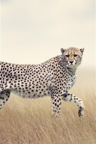 iPhone Wallpaper Two cheetahs, predators, grass