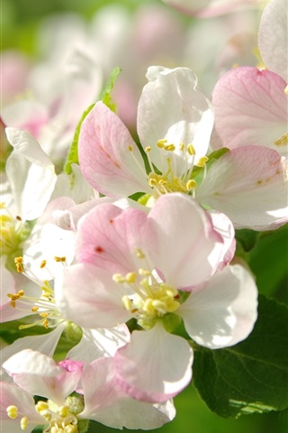 iPhone Wallpaper White pink apple flowers, bee, twigs, spring