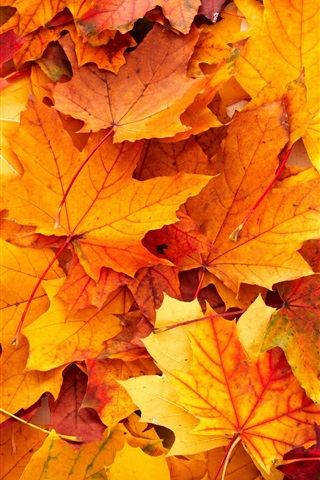 iPhone Wallpaper Yellow maple leaves background, autumn