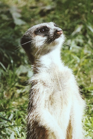 iPhone Wallpaper A meerkat standing up