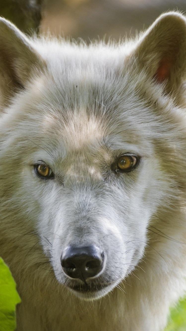 北極オオカミ 顔 見て 葉 750x1334 Iphone 8 7 6 6s 壁紙 背景 画像