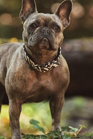 iPhone Wallpaper Bulldog look, bokeh