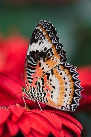iPhone Wallpaper Butterfly, red flower, petals, water drops