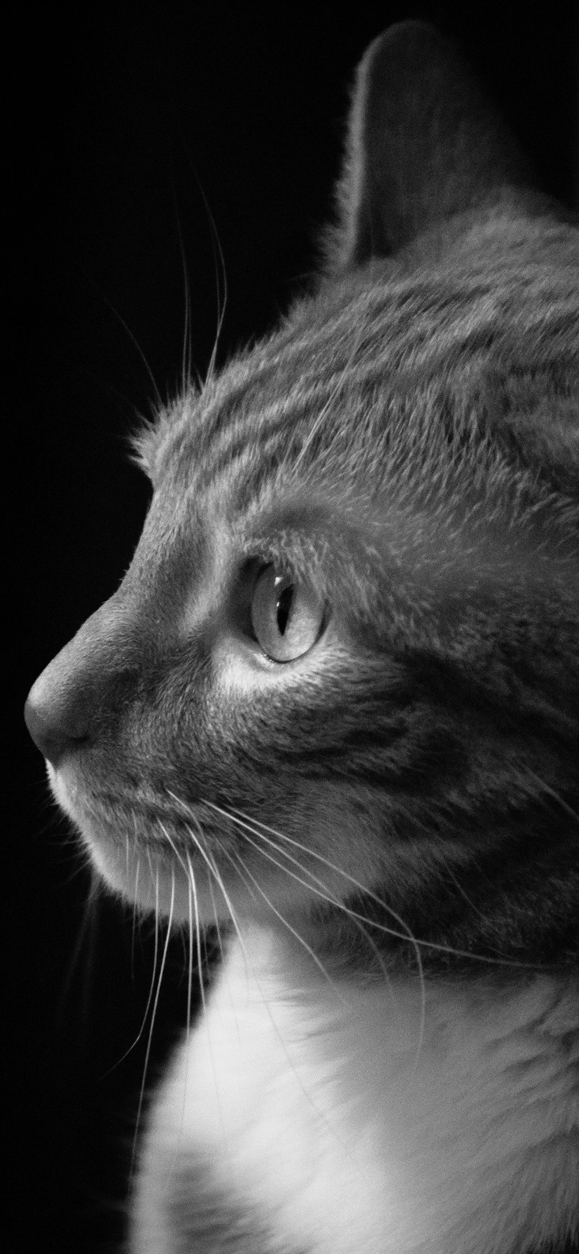 Cat Side View Black White Picture 1080x1920 Iphone 8 7 6 6s Plus Wallpaper Background Picture Image