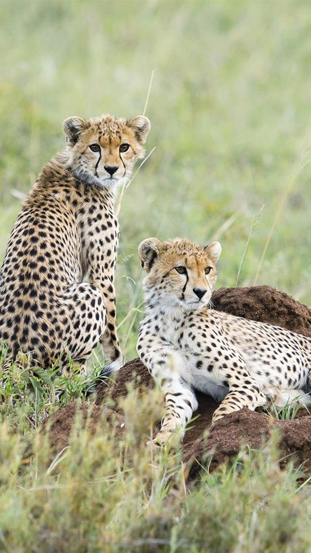 Fonds D Ecran Cheetah Bebe Regarde En Arriere Fond Vert