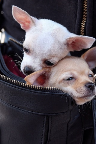 iPhone Wallpaper Chihuahua dogs in a bag