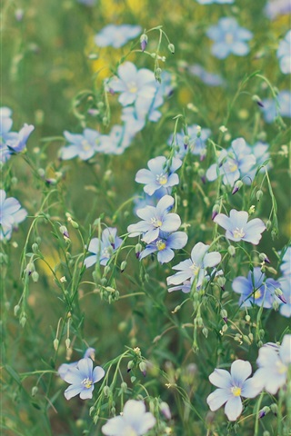 iPhone Wallpaper Flower field, little blue flowers