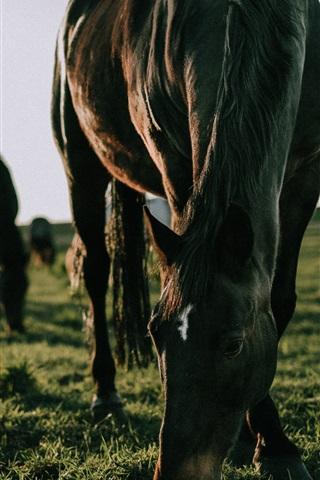 iPhone Wallpaper Horses eat grass, feeding