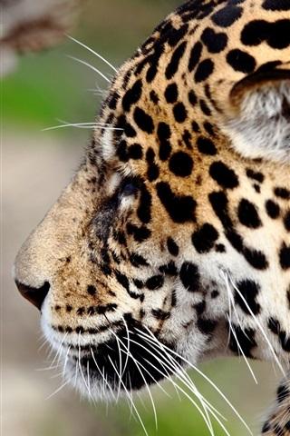 iPhone Wallpaper Jaguar, wildlife, face, side view