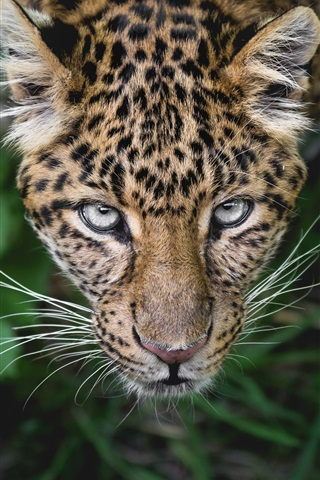 iPhone Wallpaper Leopard look at you, face, eyes, whisker