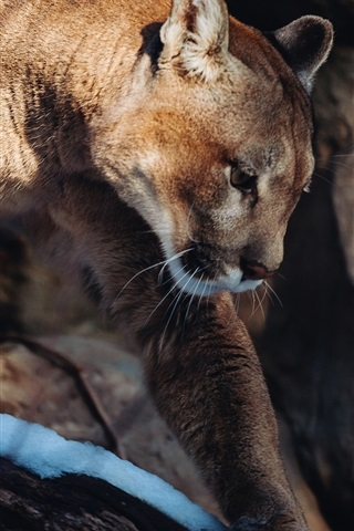 Mountain Lion Wild Cat Snow 640x1136 Iphone 5 5s 5c Se Wallpaper