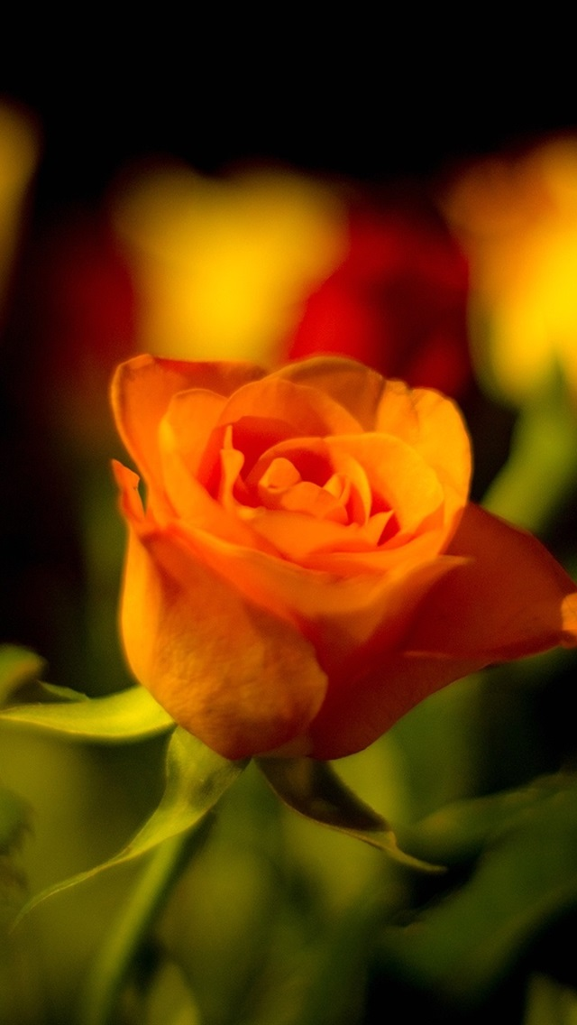 Orange And Yellow Roses 640x1136 Iphone 5 5s 5c Se Wallpaper Background Picture Image