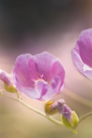 iPhone Wallpaper Pink mallow flowers