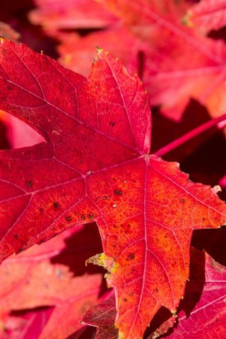 iPhone Wallpaper Red maple leaves, nature, autumn