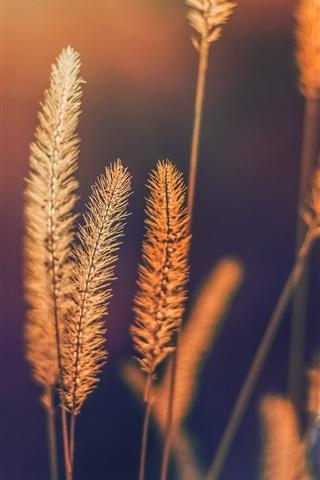 iPhone Wallpaper Summer grass, setaria