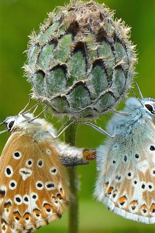 iPhone Wallpaper Two butterflies, flower
