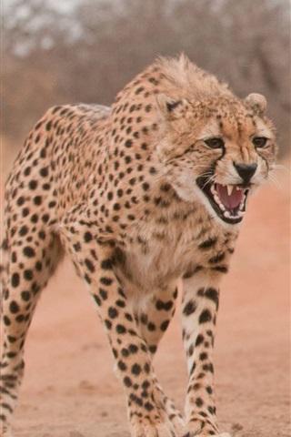 iPhone Wallpaper Wild boar, cheetah