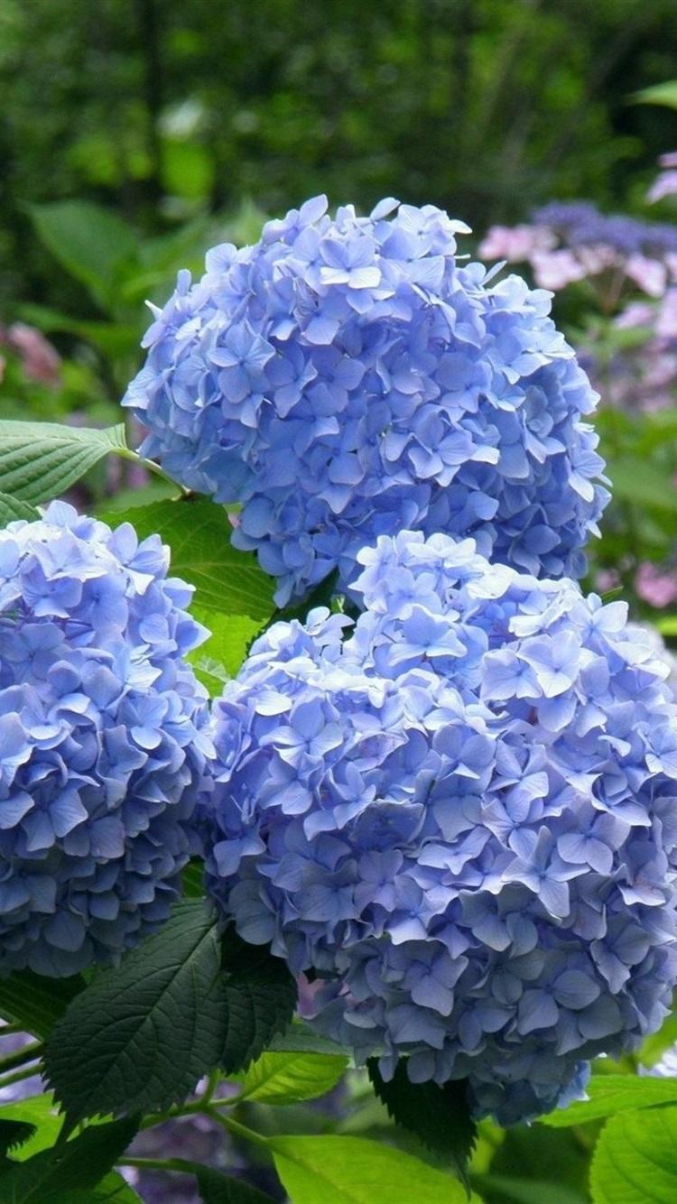 青い紫陽花 公園 750x1334 Iphone 8 7 6 6s 壁紙 背景 画像