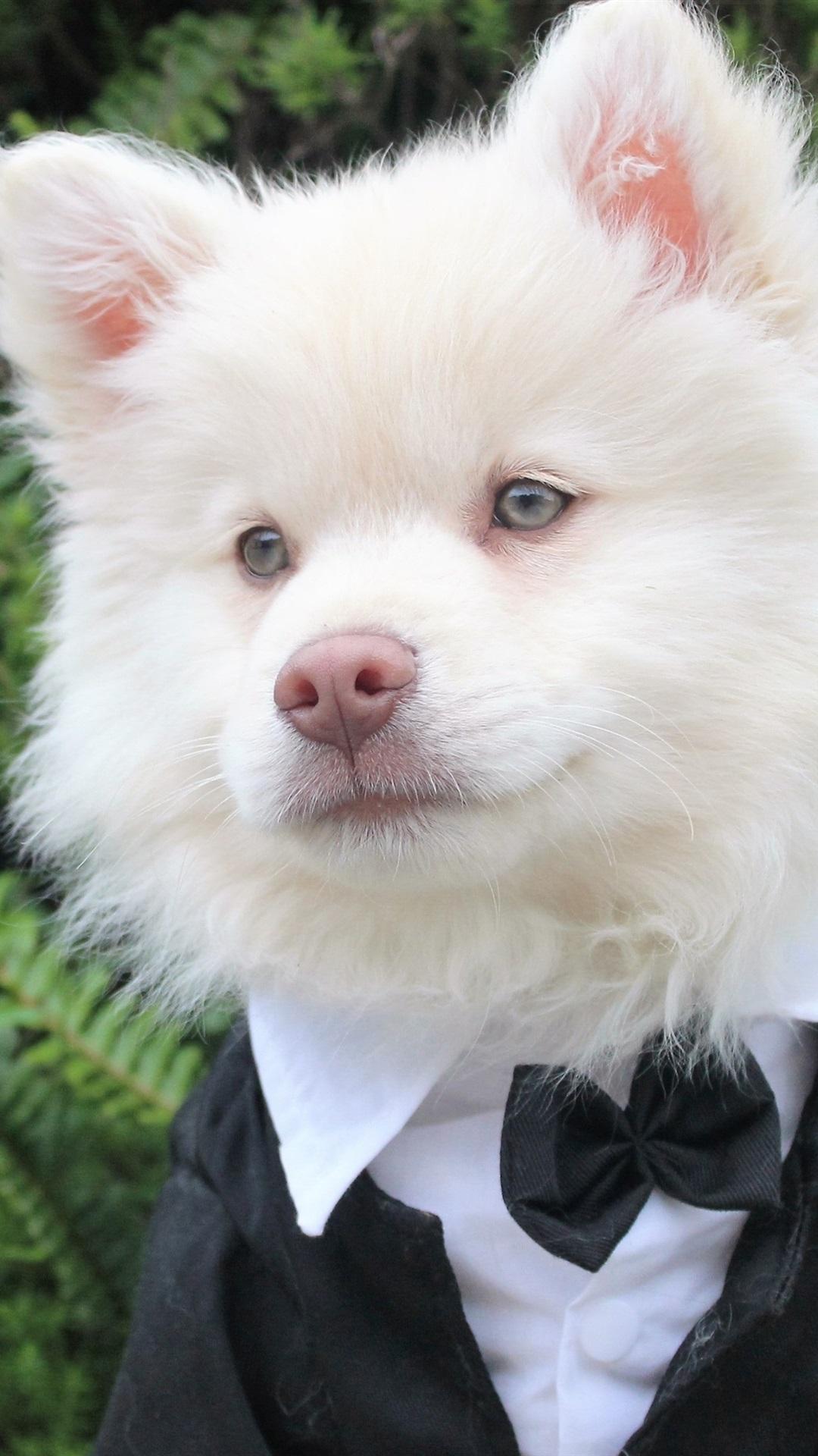 紳士のようなかわいい白い犬 1080x1920 Iphone 8 7 6 6s Plus 壁紙
