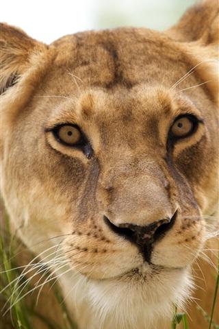 iPhone Wallpaper Lion face close-up, grass