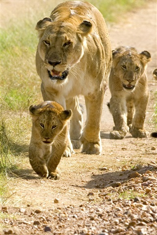 iPhone Wallpaper Lions, family, cubs, walk