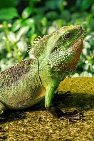 iPhone Wallpaper Lizard look up, chameleon