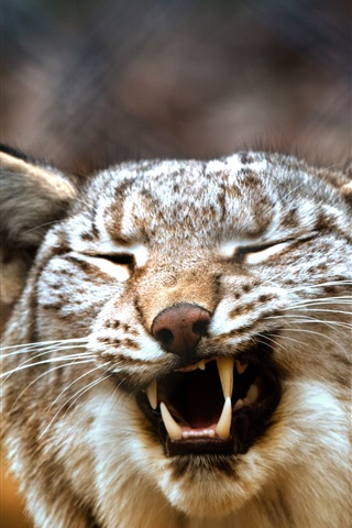 iPhone Wallpaper Lynx yawn, blurry background