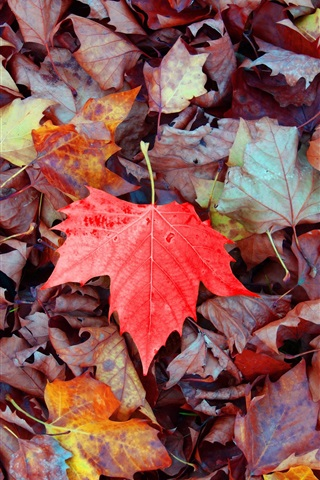 iPhone Wallpaper Maple leaves falling, one red leaf, autumn